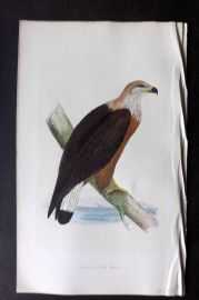 Bree 1866 Hand Col Bird Print. Pallas's Sea Eagle